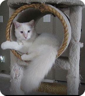 Siamese Cat for adoption in Gilbert, Arizona - Snowball
