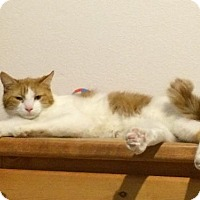Domestic Shorthair Cat for adoption in Denver, Colorado - Michael 'Mickey'