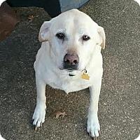 Adopt A Pet :: Tilly The Lab - Matawan, NJ