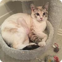 Adopt A Pet :: Lynx 2 - Bulverde, TX