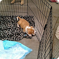 Adopt A Pet :: Butters - Hopkinsville, KY