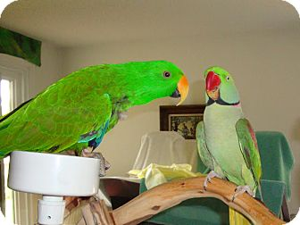 Parrot - Other for adoption in St. Louis, Missouri - Murphy and Oscar