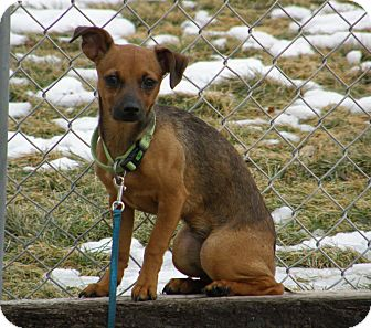 Chihuahua Mix Puppy for adoption in Meridian, Idaho - Pebbles