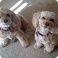Adopt A Pet :: Keppie & Shana--A Pair - Toluca Lake, CA
