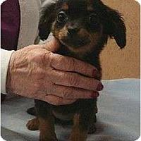 Adopt A Pet :: Pee Wee - Staunton, VA