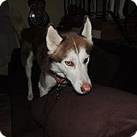 Adopt A Pet :: NanNuk - Brick, NJ