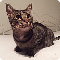 Adopt A Pet :: Celestina - Brooklyn, NY