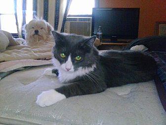 Domestic Mediumhair Cat for adoption in Lancaster, California - Milton