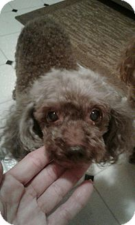 Miniature Poodle Dog for adoption in Fort Myers, Florida - Curly Sue Foo Foo