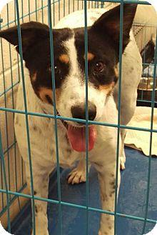 Australian Cattle Dog/Labrador Retriever Mix Dog for adoption in Las Vegas, Nevada - Beans