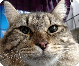 Domestic Mediumhair Cat for adoption in San Marcos, Texas - Tammi