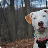 Adopt A Pet :: Danica - New Castle, PA