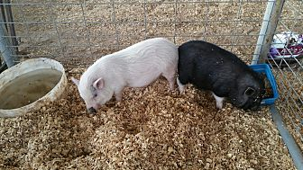 Pig (Potbellied) for adoption in Baton Rouge, Louisiana - Rosie