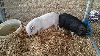 Pig (Potbellied) for adoption in Baton Rouge, Louisiana - Rosie