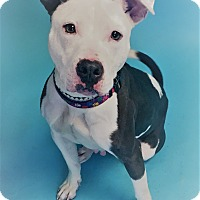 Pit Bull Terrier Mix Dog for adoption in Monroe, Michigan - Dipper