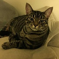 Adopt A Pet :: Sonny Boy-20 week old kitten - New City, NY