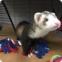 Adopt A Pet :: PIPPA - Boston, MA