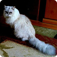 Himalayan Cat for adoption in Laguna Woods, California - Yoshi