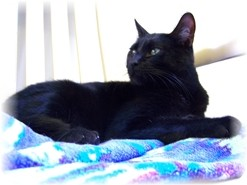 Domestic Shorthair Cat for adoption in Shelton, Washington - Spooky