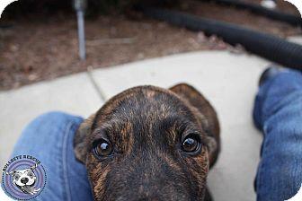 American Pit Bull Terrier/Labrador Retriever Mix Puppy for adoption in Atlanta, Georgia - garza