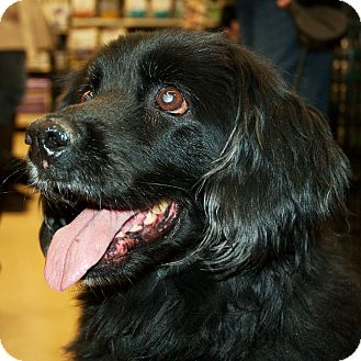 Spaniel (Unknown Type) Mix Dog for adoption in Richmond, Virginia - Mitzy