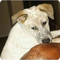 Adopt A Pet :: Schnook - Phoenix, AZ