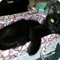 Domestic Mediumhair Cat for adoption in St. Cloud, Florida - Silka