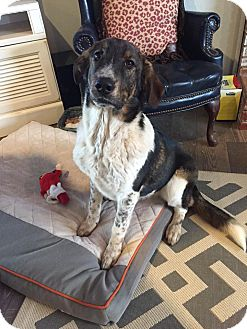 Great Pyrenees/Hound (Unknown Type) Mix Dog for adoption in Snyder, Texas - Hold you