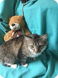 Domestic Longhair Cat for adoption in Fishers, Indiana - Iona
