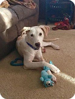 Labrador Retriever Mix Puppy for adoption in DeForest, Wisconsin - Rafe