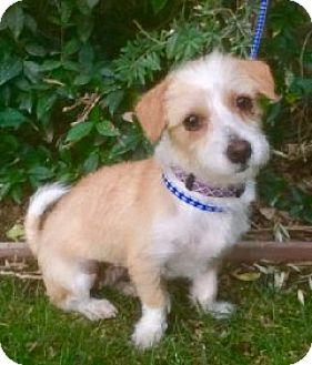 Dandie Dinmont Terrier Mix Dog for adoption in Corona, California - RUBY