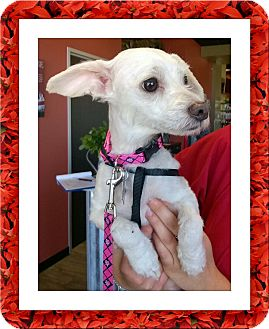 Bichon Frise Mix Dog for adoption in Tulsa, Oklahoma - Pending!! Polly - S. TX