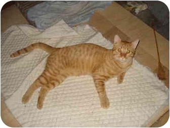 Domestic Shorthair Cat for adoption in Tomball, Texas - Calvin