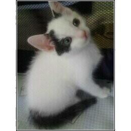 Domestic Shorthair Kitten for adoption in Catasauqua, Pennsylvania - Nessy
