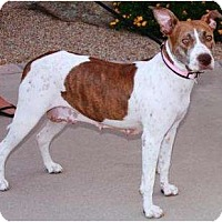 Adopt A Pet :: Roxy - Gilbert, AZ