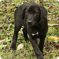 Adopt A Pet :: Liam - Staunton, VA