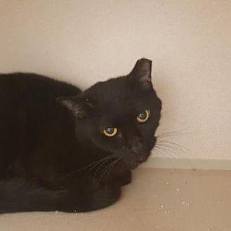 Domestic Shorthair Cat for adoption in Denver, Colorado - Echo