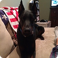 Doberman Pinscher Dog for adoption in Bath, Pennsylvania - Wolfgang