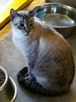 Domestic Shorthair Kitten for adoption in Los Angeles, California - Ozzy