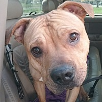 American Pit Bull Terrier Mix Dog for adoption in Rochester, Minnesota - Jack