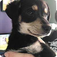 Adopt A Pet :: Lyric - Thousand Oaks, CA