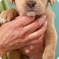 Adopt A Pet :: Remy - Halifax, NC