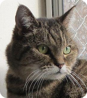 Domestic Shorthair Cat for adoption in Geneseo, Illinois - Bitsi