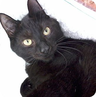 Domestic Shorthair Kitten for adoption in Fairborn, Ohio - Eclipse-Diamond Litter