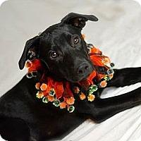 Adopt A Pet :: Dallas - Gilbert, AZ