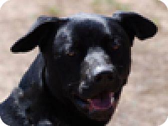 Labrador Retriever Mix Dog for adoption in Portola, California - Winston