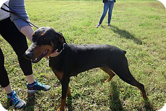 Doberman Pinscher Mix Dog for adoption in McAllen, Texas - Sasha