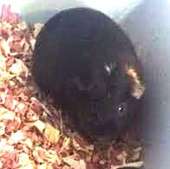 Guinea Pig for adoption in Asheville, North Carolina - Miss Nibbles