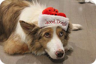 Border Collie Mix Dog for adoption in Allen, Texas - Hope
