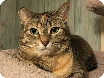 Domestic Shorthair Cat for adoption in Acme, Michigan - Avery